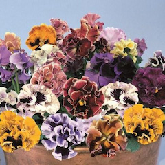 Pansy, assorted pansies