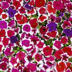 Petunia Candy series