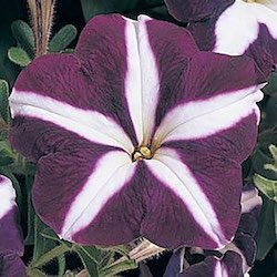 Carpet series petunia