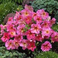 Dolcissima series petunia