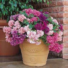 Petunia Double Cascade series