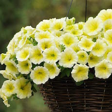 Petunia Easy Wave Trailing series - Annual Flower Seeds
