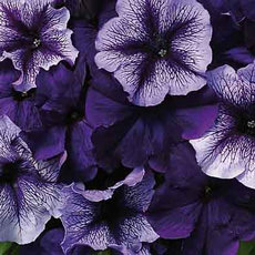 Petunia Fuseables Trailing series
