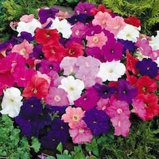 Heat Elite Mambo series petunia