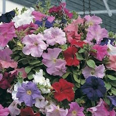 Petunia Supercascade Trailing series