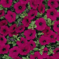 Petunia Wave Trailing series