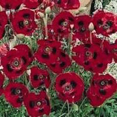 Assorted Poppy