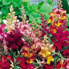 Snapdragon variegated mix
