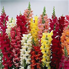 Snapdragon cut flower type
