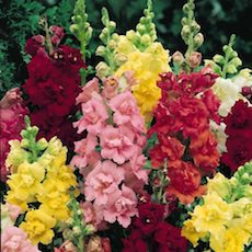 Snapdragon butterfly type