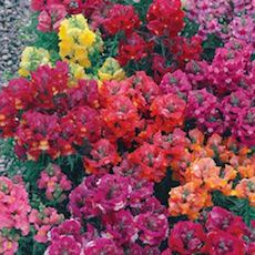 Snapdragon royal carpet type