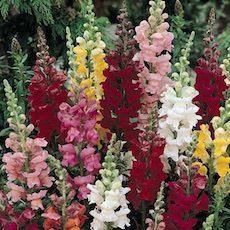 Snapdragon 3 foot tall cut flower mix