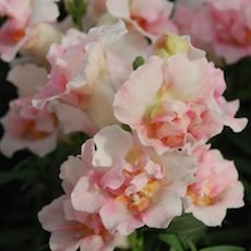 Snapdragons twinny series