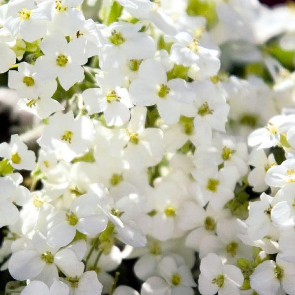 Arabis caucasica Snowfix flowers