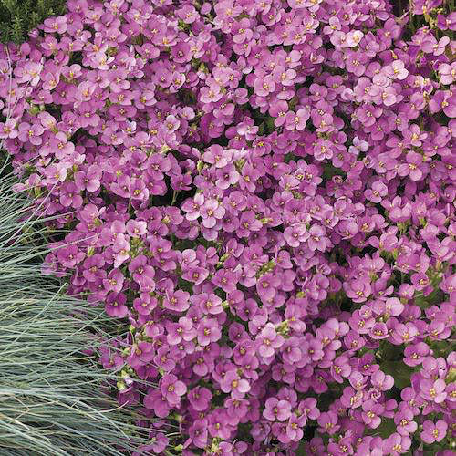 Wall Rockcress Little Treasure Deep Rose - Arabis caucasica