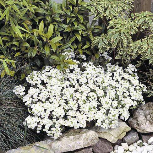 Snowfix wall rockcress.