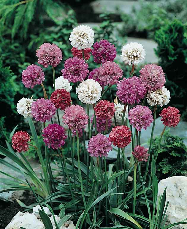 Armeria Formosa - Sea Pinks - Armeria pseudoarmeria