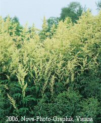 White Mugwort Artemisia plants topped with panicles of creamy-white flowers.