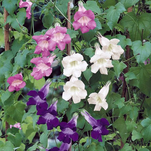 Jewel Mixed asarina vine seeds