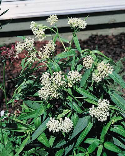 Butterfly Weed Milkmaid - Asclepias incarnata