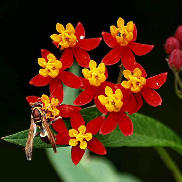 Butterfly weed Silky Deep Red