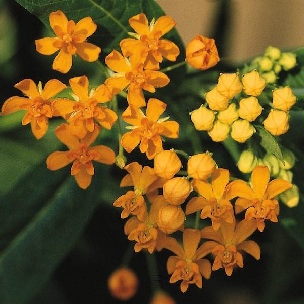 Silky Gold butterfly weed seeds