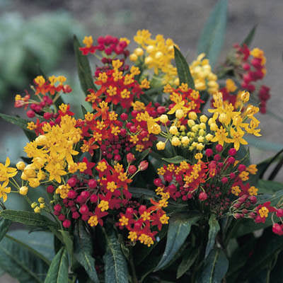 butterfly weed seeds  bloodflower milkweed  asclepias curassavica, Beautiful flower