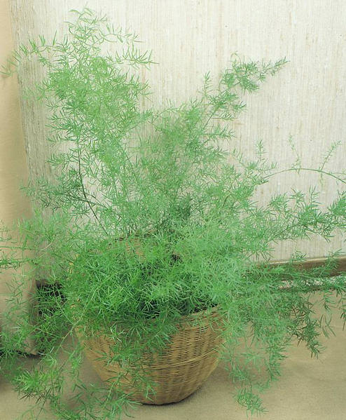 Asparagus Fern in basket.