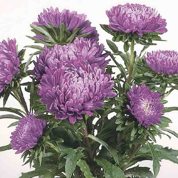 Milady Deep Blue aster seeds