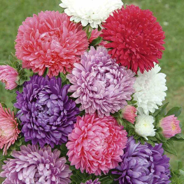 Milady Mix Aster - garden seeds - annual-flower-seeds