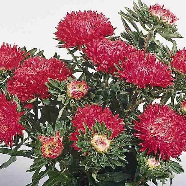 China Aster Milady Scarlet- annual flower seeds.