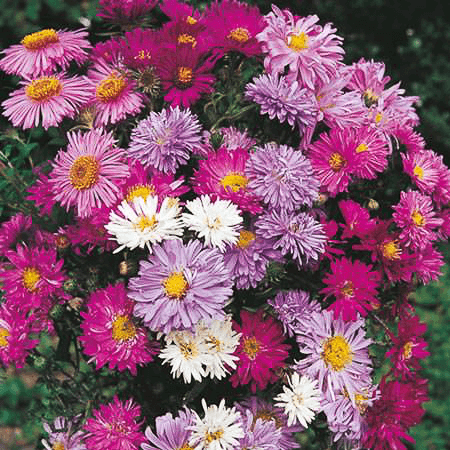 Perennial flower seeds swallowtail garden seeds perennial aster seeds astilbe mightylinksfo