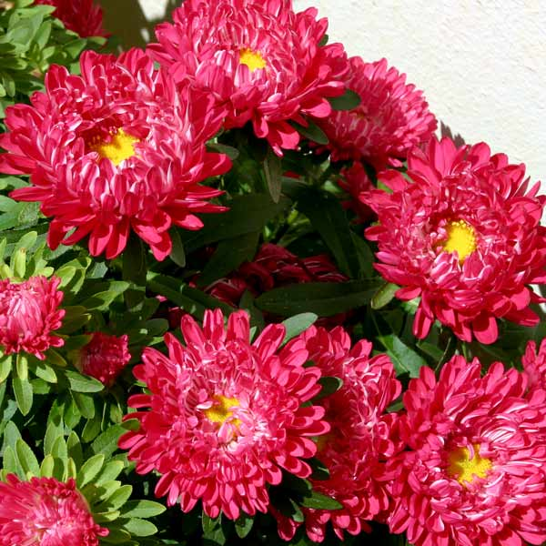 Red Ribbon aster seeds