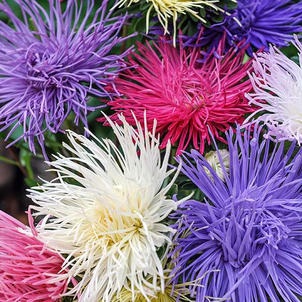 Aster Spider Chrysanthemum Mix annual flower seeds