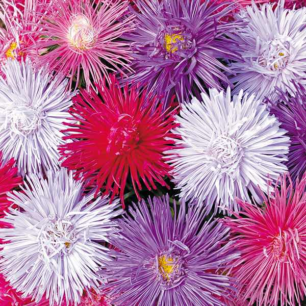 Aster Starlight Mix annual flower seeds