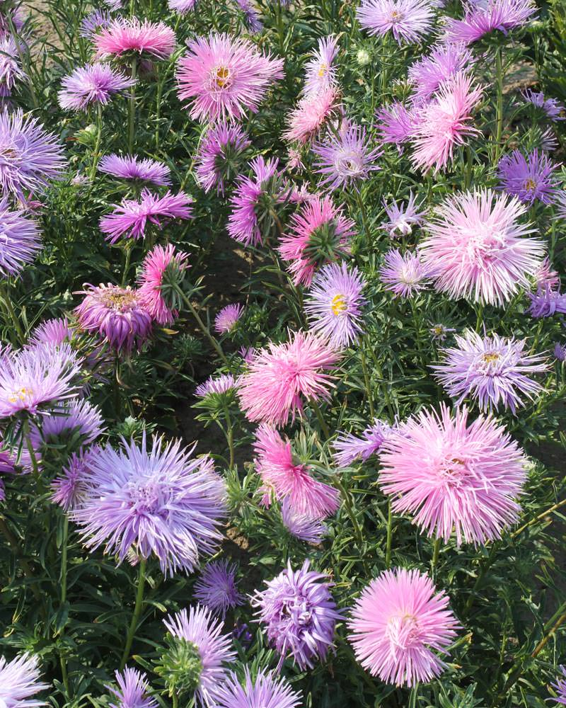 Chinese Aster Seeds How To Plant China Asters Annual Flowers