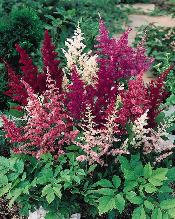 Astilbe seeds 3 top astilbes perennial flower seeds showstar astilbe seeds mightylinksfo
