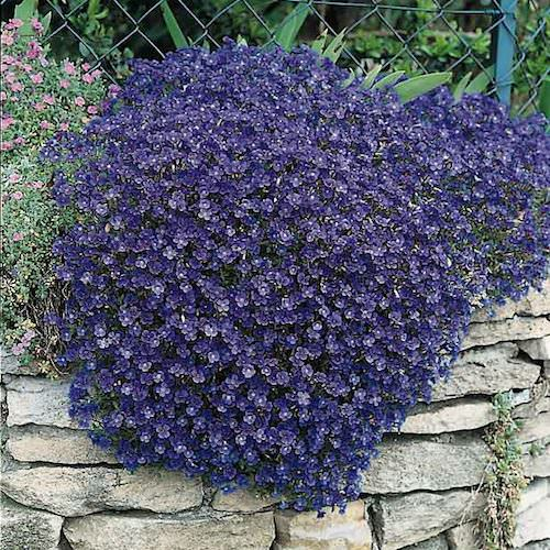 Rock Cress Cascade Blue - Aubrieta x cultorum
