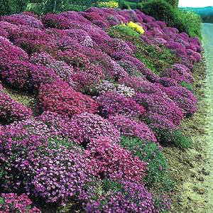 rock cress Cascade Mix - Aubrieta x cultorum