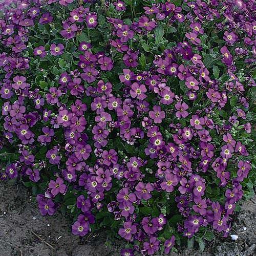 Cascade Purple rock cress