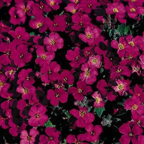 Rock cress Cascade Red - Aubrieta x cultorum