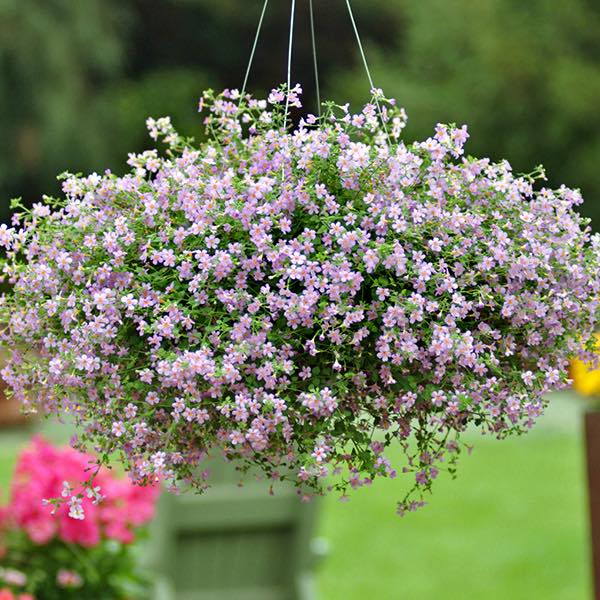 Blutopia bacopa in hanging basket