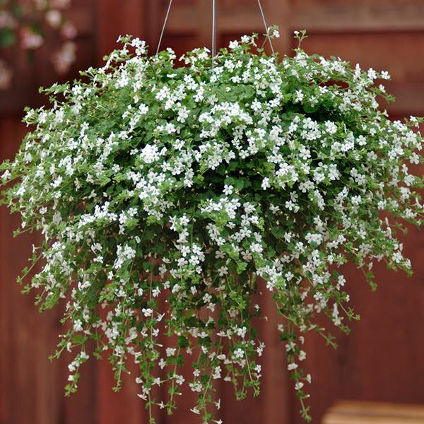 Snowtopia White Improved bacopa in hanging basket