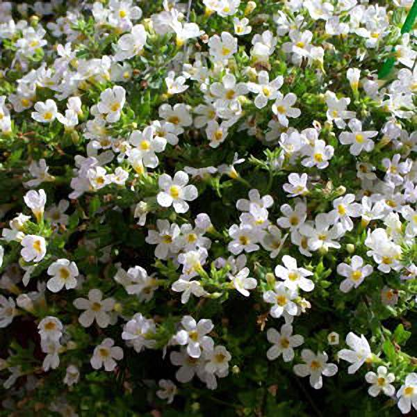 Snowtopia White Improved bacopa flowers