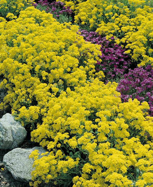 Basket-of-gold Golddust perennial seeds