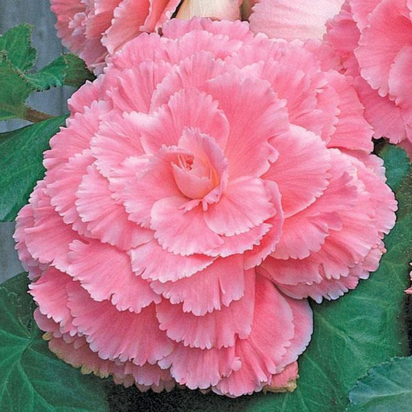Begonia AmeriHybrid Picotee Lace Pink