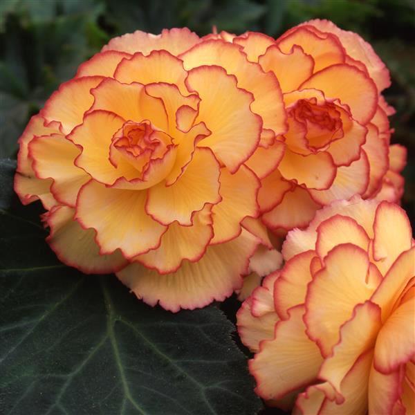 Begonia AmeriHybrid Picotee Sunburst