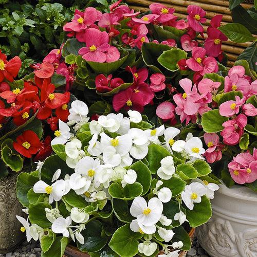 Begonia Bada Bing Mix - annual flower seeds.