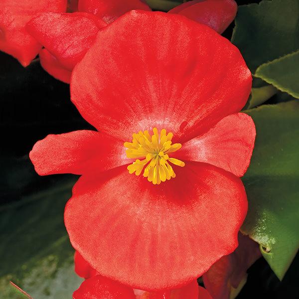 Begonia Bada Bing Scarlet