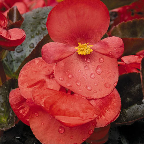 Big Red with Bronze Leaf begonia flowers
